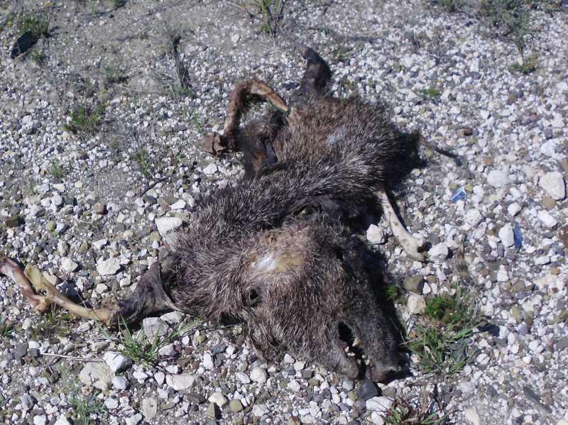 javelina carcass