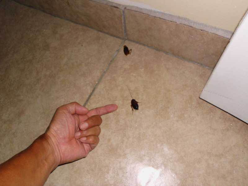 immature american cockroach